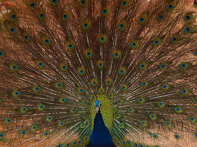 Photograph - The Peacock 2 by Ernie Echols