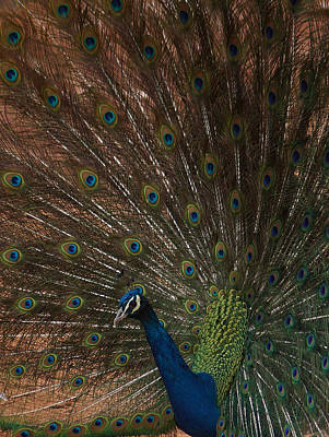 Photograph - The Peacock 3 by Ernie Echols