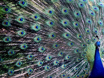 Photograph - The Peacock by Wayne King