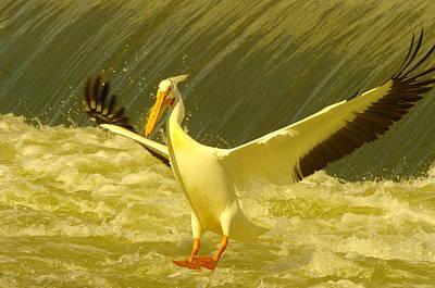 The Pelican Lands Art Print by Jeff Swan
