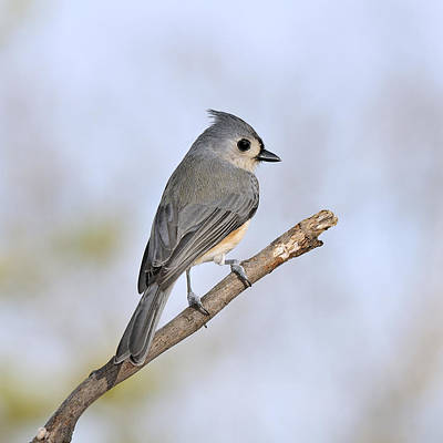 Tufted Titmouse Photograph - The Perching Tufted Titmouse by Lara Ellis
