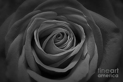 Photograph - The Perfect Rose by Paul Cammarata