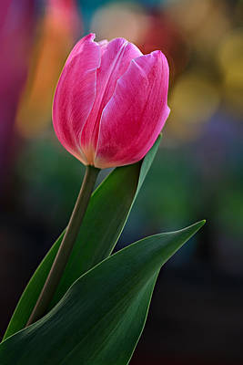 Photograph - The Perfect Tulip by Mary Jo Allen