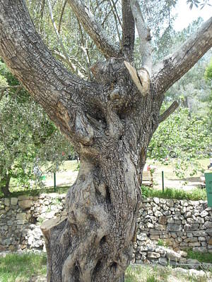 Photograph - The Phantom In The Olive Tree by Esther Newman-Cohen
