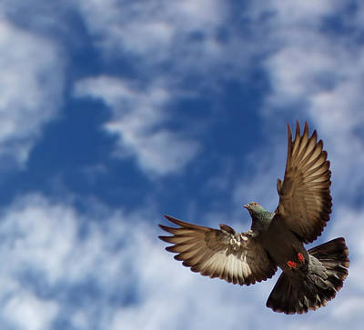 The Pigeon In Flight On A Background Of The Blue Sky Art Print by MQ Naufal