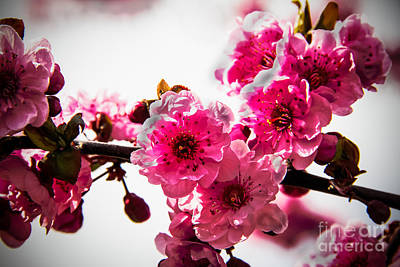 Photograph - The Pink Flowering Tree by Robert Bales