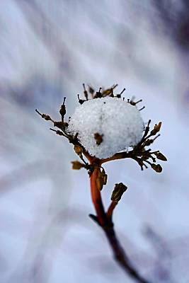 Photograph - The Plant Has A Snowball  by Beth Akerman