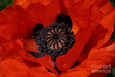 Photograph - The Poppy Is Also A Flower by PJ Boylan