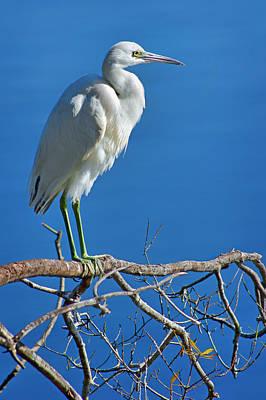 Little Blue Heron Photograph - The Pose - Little Blue Heron by Nikolyn McDonald