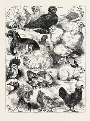 Pekin Bantam Drawing - The Poultry, Pigeon, And Rabbit Show At The Crystal Palace by Angolan School