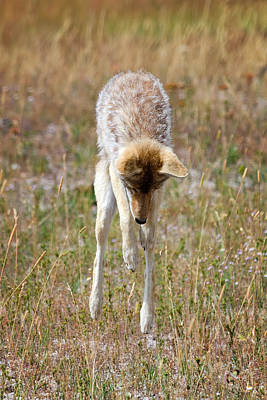 Coyote Photograph - The Pounce by Benjamin DeHaven