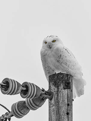 Telephone Poles Photograph - The Power Of The Owl Black And White by Thomas Young