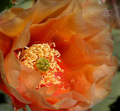 Photograph - The Prickly Pear World by Joe Kozlowski