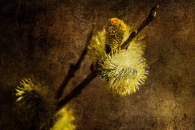 Pussy Willow Blooms Photograph - The Prime Of The Year by Alexander Senin