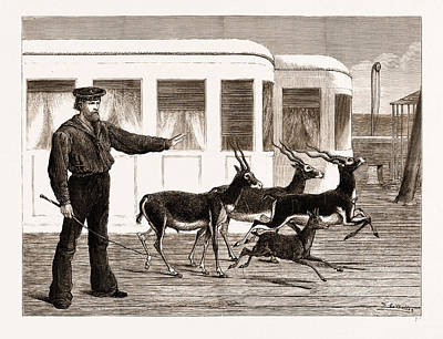 Antelope Drawing - The Prince Of Waless Indian Presents Antelopes At Exercise by Litz Collection