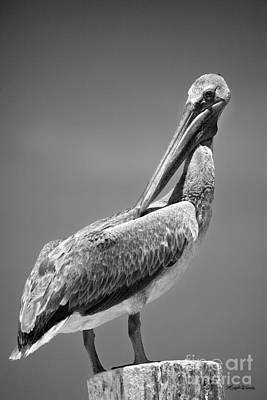 Photograph - The Proper Pelican by Michelle Constantine