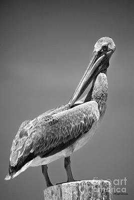 Photograph - The Proper Pelican by Michelle Wiarda