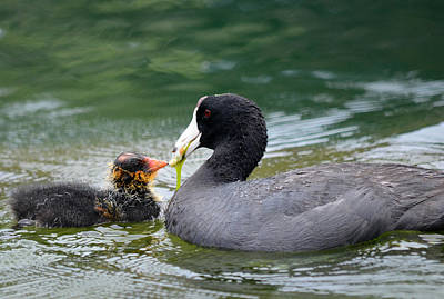 Coot Wall Art - Photograph - The Provider by Fraida Gutovich
