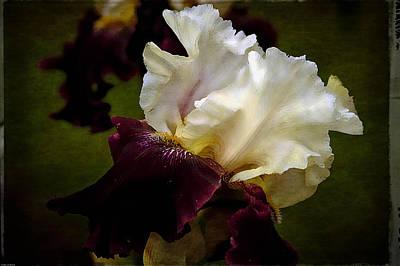 Photograph - Purple And White Iris by Thom Zehrfeld