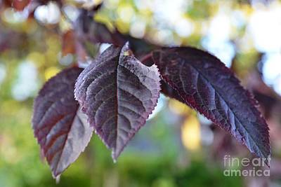 Photograph - The Purple Leaf by Aqil Jannaty