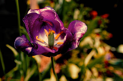 D700 Photograph - The Purple Rose Of Cairo by Chris Modlin