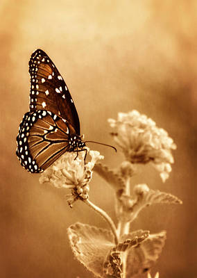 Queen Butterfly Photograph - The Queen Butterfly  by Saija  Lehtonen