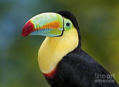 Toucan Photograph - The Rainbow Bird.. by Nina Stavlund
