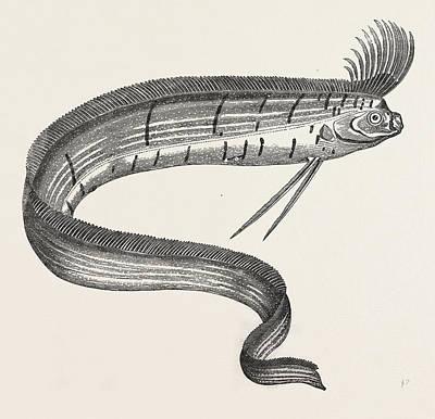 The Rare Fish Regalecus Glesne, Caught Off Cullercoats Art Print