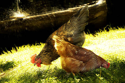 Photograph - The Cock And His Hen by Selke Boris