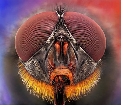 Insect Photograph - The Red Beard - Fly Portrait by I Love Nature
