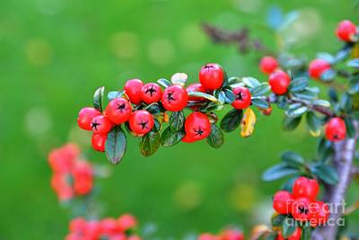 Photograph - The Red Berries by Aqil Jannaty