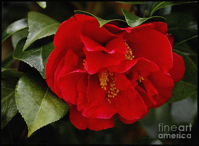 The Red Camellia  Art Print by James C Thomas