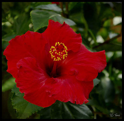 Art Print featuring the photograph  Red Hibiscus by James C Thomas