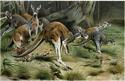 Kangaroo Drawing - The Red Kangaroo by English School