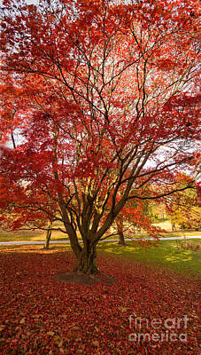 Photograph - The Red Maple by Rima Biswas