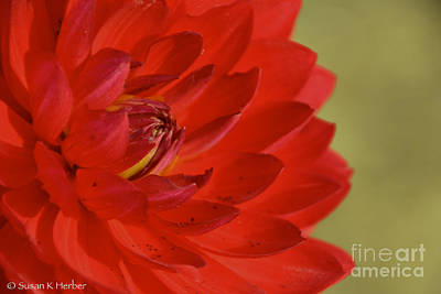 Photograph - The Red Sun Dahlia by Susan Herber