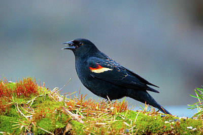 Red Wing Blackbird Photograph - The Red-winged Blackbird (agelaius by Richard Wright