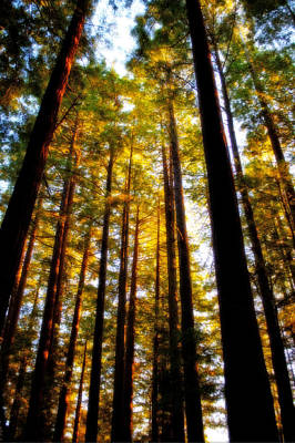 Photograph - The Redwoods Of Florence Keller Park by Tikvah's Hope