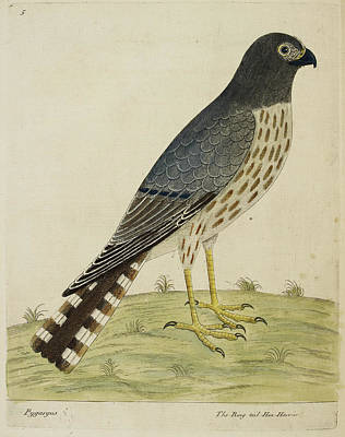 Of Birds Photograph - The Ring Tailed Hen Harrier by British Library