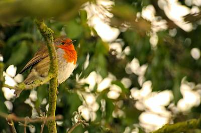 Photograph - The Robin by Dave Woodbridge