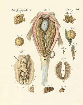 The Roe Or Ovarium Of The Carps And Painter's Mussel Or The Evo Art Print