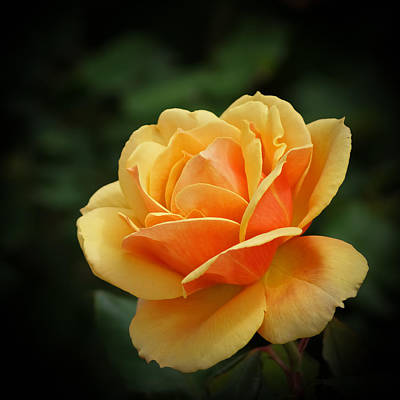 Photograph - The Rose 1 by Ernie Echols