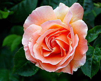 Photograph - The Rose by AJ  Schibig