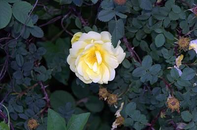 Photograph - The Rose by Michael Sokalski