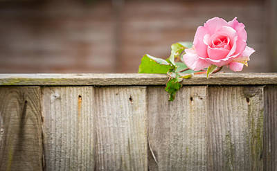 Photograph - The Rose Over The Fence by Gary Gillette