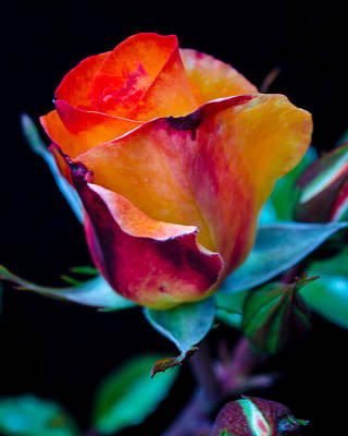 Photograph - The Rose by Tikvah's Hope