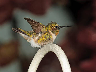 Photograph - The Ruffled Hummer by Lara Ellis