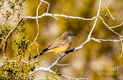 Photograph - The Say's Phoebe by Robert Bales
