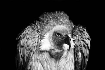 Vulture Photograph - The Scavenger by Chris Whittle