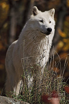 Art Print featuring the photograph The Sentinel by Wolves Only